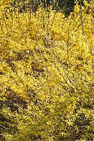 Forsythia 'Spring Glory' (pale), 'Spectabilis (dk)