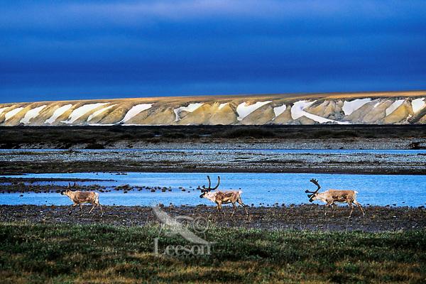 Barren Ground Caribou on coastal plains.  Arctic National Wildlife Refuge, AK.