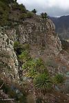 descente vers la Laja, végétation typique des barrancos dans la zone aride..Down the barranco of La Laja