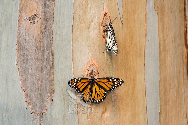 Western Monarch Butterflies (Danaus plexippus) on the side of a Eucalyptus tree, coastal California.  Winter.