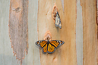 Western Monarch Butterflies (Danaus plexippus) on the side of a Eucalyptus tree, coastal California.  Winter.