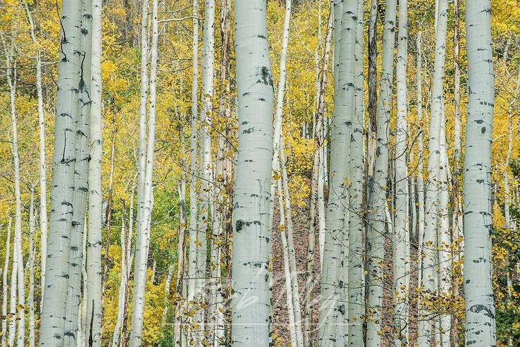 USA, CO, Aspen, Aspen Trunks near Castle Creek