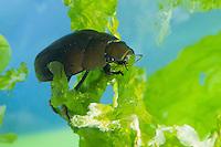 Großer Kolbenwasserkäfer, Grosser Kolbenwasserkäfer, Kolben-Wasserkäfer, Riesen-Wasserkäfer, Riesenwasserkäfer, Hydrous piceus, syn. Hydrophilus piceus, Great Silver Water Beetle, Hydrophilidae