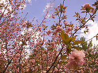 Blossoming cherry tree branches<br />