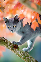 Gray kitten in fall colored tree. Wilsonville, Oregon