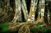 Banyon tree trunks. Lanai, Hawaii
