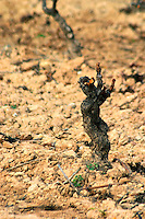 Fitou. Languedoc. Vines trained in Gobelet pruning. Old, gnarled and twisting vine. Terroir soil. France. Europe. Vineyard.
