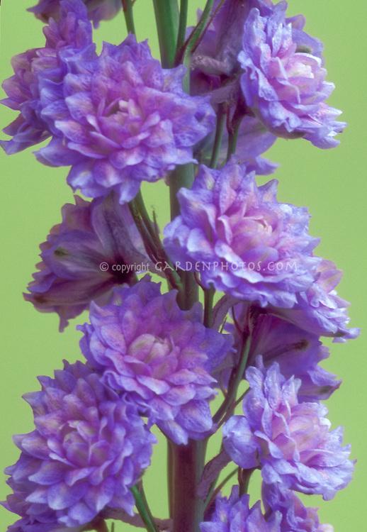 Delphinium Blueberry Pie Highlander double flowers