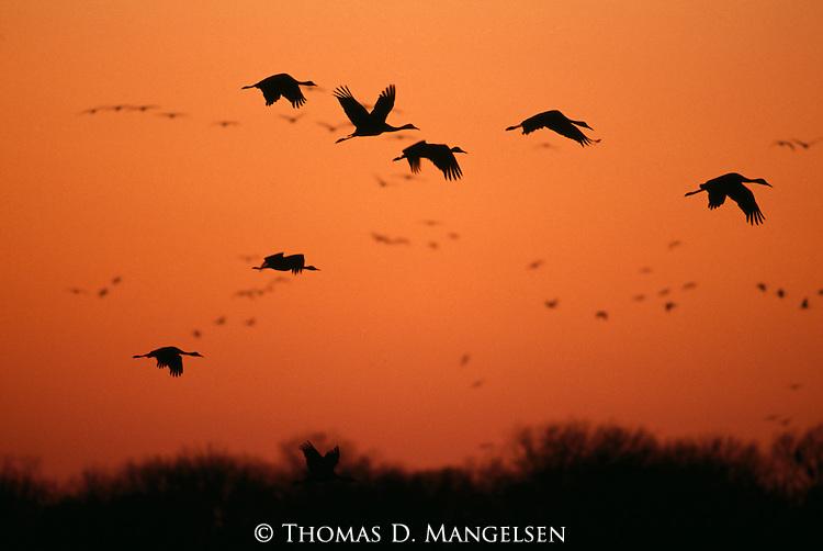 Group of cranes silhouetted against the orange sunset over Platte River, Nebraska