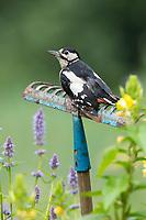 Buntspecht, auf Sitzwarte im Garten, alte Harke verkehrt herum in ein Blumenbeet gesteckt dient als Aussichtspunkt, Bunt-Specht, Specht, Spechte, Dendrocopos major, Picoides major, Great spotted woodpecker, woodpecker, woodpeckers, Pic épeiche, Deko