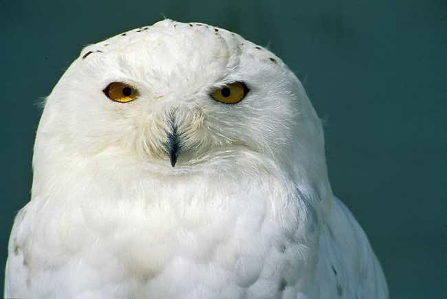 Snowy Owl, Nyctea scandiaca, Controlled Conditions, Canada, North America.
