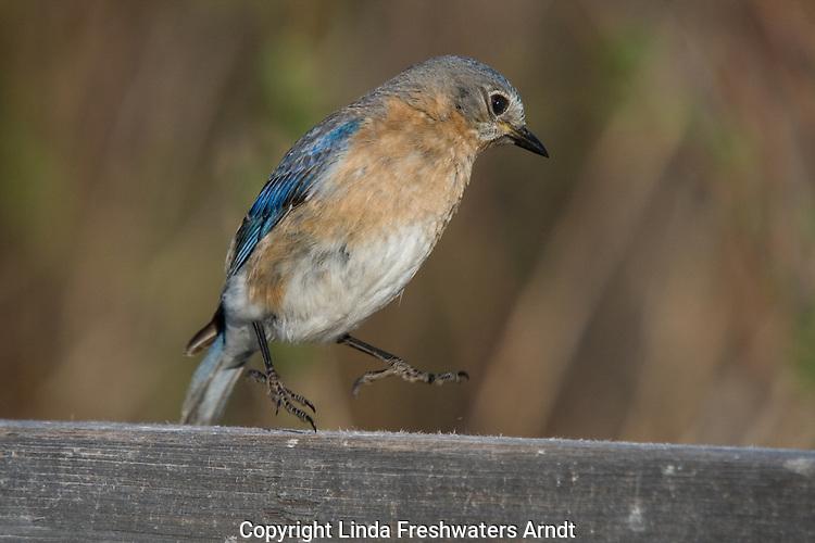 Eastern bluebird startled by something
