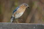 Eastern bluebird startled by something