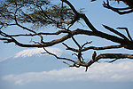 Parc national d Amboseli au pied du Kilimandjaro. Kenya