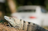 Black spiny-tailed iguana, Ctenosaura similis, rests near a parking lot on the grounds of Punta Leona Hotel and Resort, Costa Rica