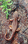 Rough-skinned newt, Cascade Range, Washington, USA