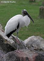 0206-08yy  Wood Stork, Mycteria americana © David Kuhn/Dwight Kuhn Photography