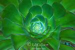 Aeonium Arboreum, Fern Canyon Garden, Mill Valley, California