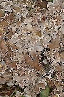 Bereifte Schildflechte, Bereifte Schild-Flechte, Hundsflechte, Blattflechte, Peltigera rufescens, Peltidea canina, Peltigera canina, Peltigera spuria, Field dog-lichen