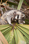 Ding Darling National Wildlife Refuge, Sanibel Island, Florida; a Raccoon (Procyon lotor) stops to gnaw on it's foot while it forages for berries in a Cabbage Palm (Sabal palmetto) tree © Matthew Meier Photography, matthewmeierphoto.com All Rights Reserved