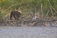 Grizzly Bear walking along a log on a misty morning on the Mitchell River
