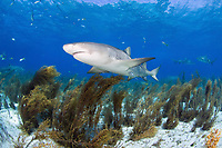 Lemon shark, Negaprion brevirostris, Bahamas, Atlantic Ocean, Lemon shark swims among sargassum seaweed