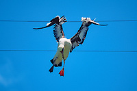 Laysan albatross, Phoebastria immutabilis, dead after hitting wire, Midway Island, Northwestern Hawaiian Islands NMS (Pacific Ocean)