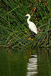 Snowy Egret Sepulveda Wildlife Refuge Southern California