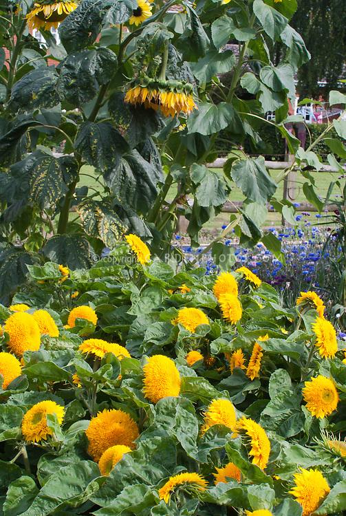 Helianthus Teddy Bear Dwarf sunflowers next to tall sunflowers