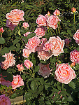 Tiffany Rose, Rosa hybrid tea