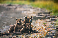Brown bear sow with triplet spring cubs on the shores of Naknek lake, Katmai National Park, Alaska.