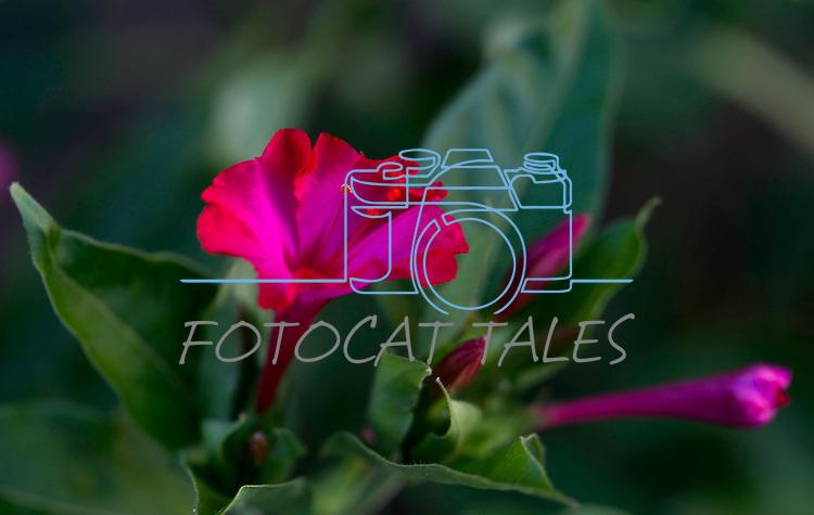 4 o'clock flowers bloom in Gardnerville, Nev., on Thursday, Aug. 1, 2019.<br /> Photo by Cathleen Allison/Nevada Momentum