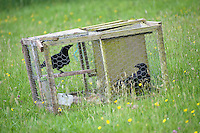 Two crows in a trap.
