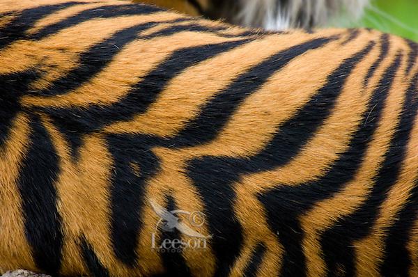 Sumatran Tiger (Panthera tigris) stripes