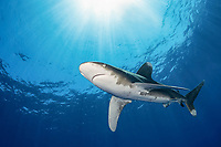 oceanic whitetip shark, Carcharhinus longimanus, Cat Island, Bahamas, Atlantic Ocean