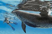 snorkeler photographs an Atlantic spotted dolphin, Stenella frontalis, and remora, sharksucker, Echeneis naucrates, Bahamas, Caribbean Sea, Atlantic Ocean