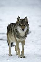Wolf, im Winter im Schnee, Canis lupus, gray wolf