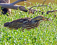 American bittern with dragonfly