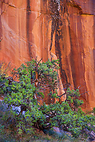A Juniper Tree stands before the streaked walls of Negro Bill Canyon near Moab, Utah