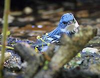 Male cerulean warbler bathing-darn that branch!