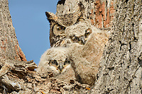 Great Horned Owls (Bubo virginianus)--mother with young owlets.  Oregon, spring.