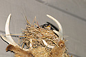 00980-021.03 American Robin is sitting on a nest built between the antlers of white-tailed deer buck's head in car port.  Odd, nesting, unusual location.