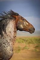 The Warrior - Mustang - Utah - Wild Horse
