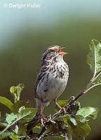 SW09-013z  Savannah Sparrow - singing, declaring territory - Passerculus sandwichensis