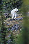 Arctic wolf and pup, Artillery Lake, Northwest Territories, Canada