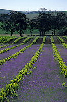 Océanie/Australie/Australie Méridionale/Barossa Valley/Gomersal : Le vignoble