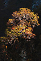 Birch trees, leaves golden in the autumn, catch the morning light on the steep slopes of the Hotaka Mountains, Kamikochi, Nagnao, Japan.
