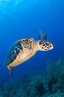 A hawksbill sea eretmochelys imbricata turtle ascends to the surface for a breath of air Middle Reef Glovers Atoll Belize Central America Caribbean Sea