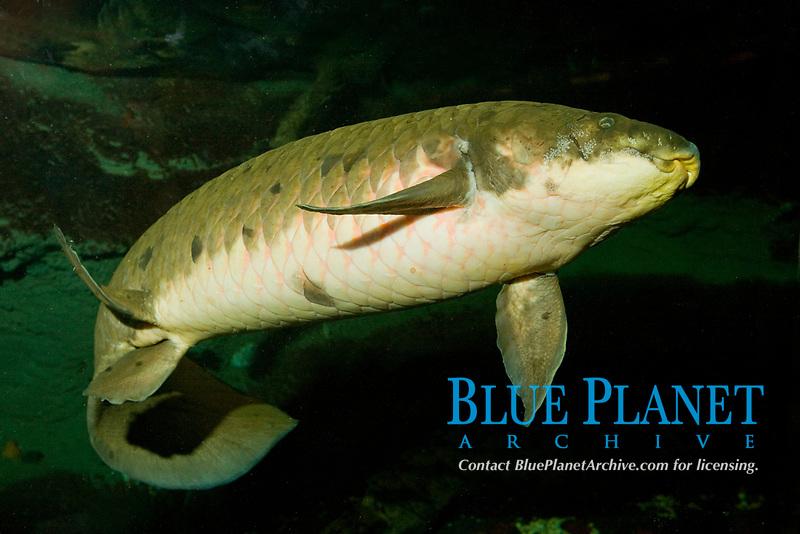 freshwater, Australian lungfish, family: Ceratodontidae, Neoceratodus forsteri, ( c )