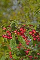 Europäisches Pfaffenhütchen, Früchte, Frucht, Gewöhnlicher Spindelstrauch, Pfaffenkäppchen, Euonymus europaeus, common spindle, European spindle, fruit